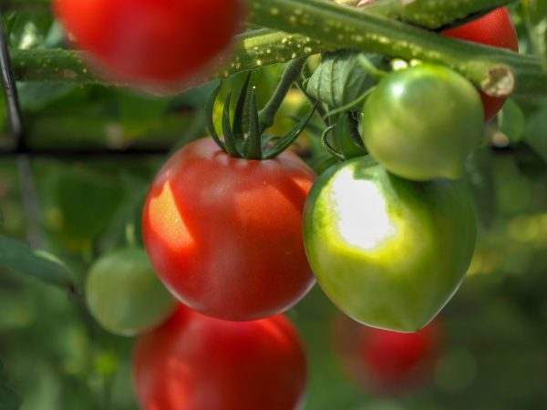 Описание сорта томатов Юбилейный Тарасенко