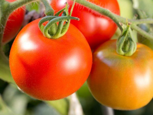 При правильном выращивании отличный урожай