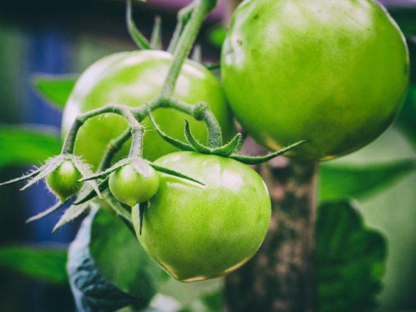 Выращивание томата Будёновка