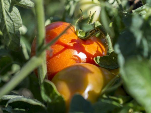 Сорт томата Король Сибири