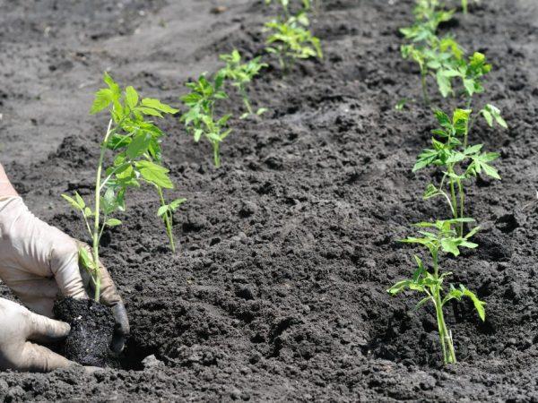 Томаты любят плодородную почву