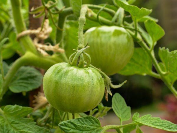 Сорт томата Уральский гигант