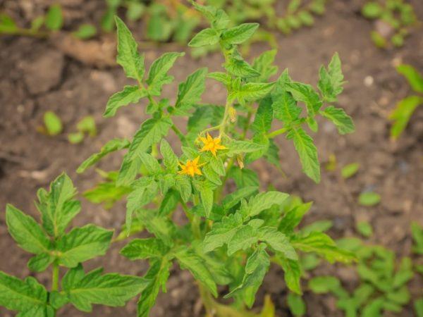 Растение нуждается в дополнительной опоре