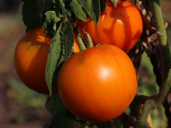 Сорт томата Аляска