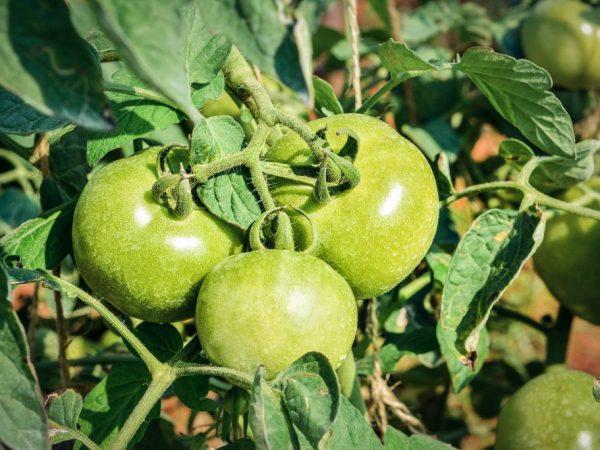 Необычный окрас томата