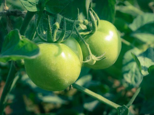 Выращивание томата Снегирь
