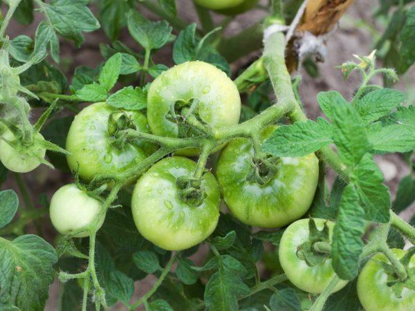 Посадка рассадным способом ускорит получение урожая