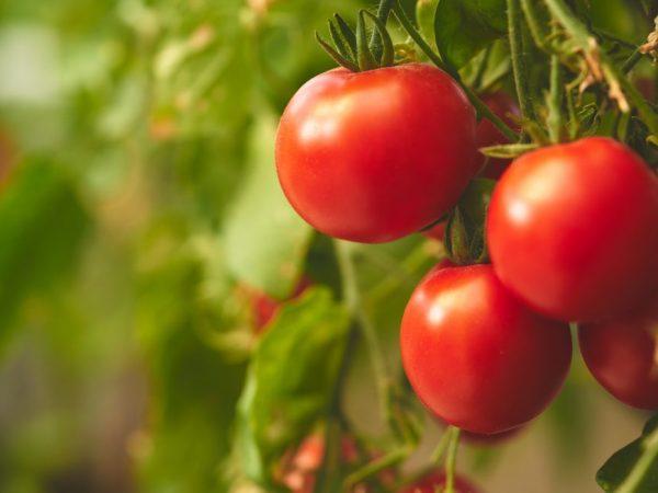 Плоды созревают на кустах одновременно