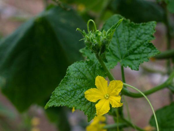 Выращивать огурцы желательно рассадным способом