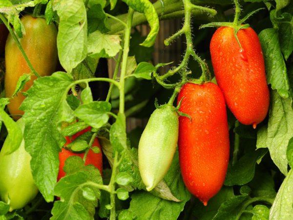 Сортовые особенности томата Фляшен