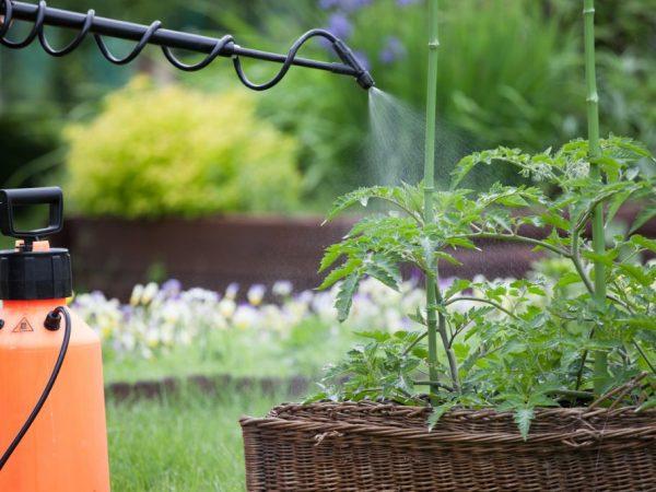 Опрыскивание с селитрой улучшает урожайность томатов