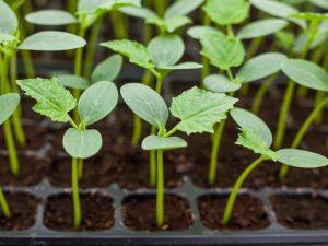 Как сажать рассаду огурцов в торфяных горшочках