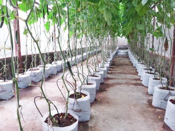 При выращивании в мешках могут быть проблемы с влажностью почвы