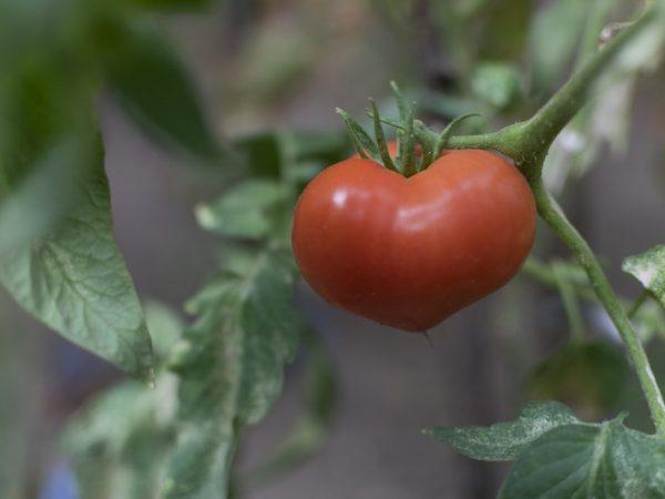 Сорт отличается хорошей урожайностью