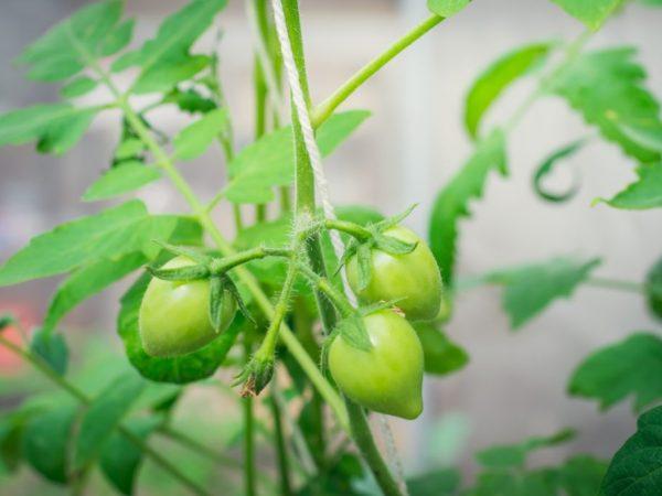 Поливать растения необходимо под корень