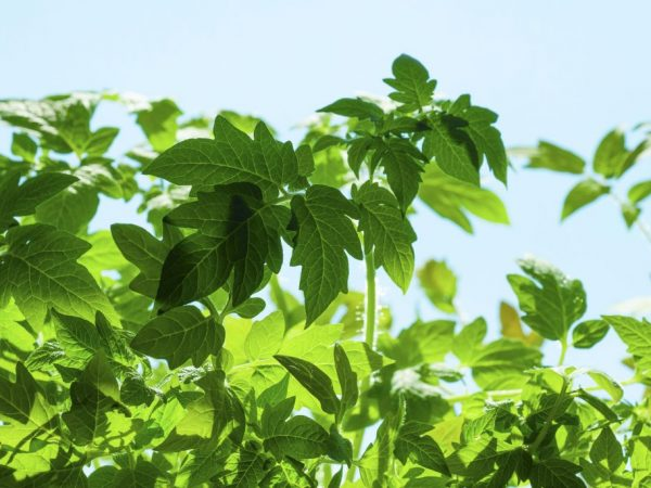 Причиной обильного роста зелени может стать переизбыток удобрений