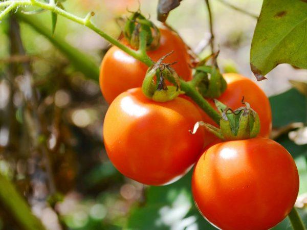 Выращивание томата Богата Хата