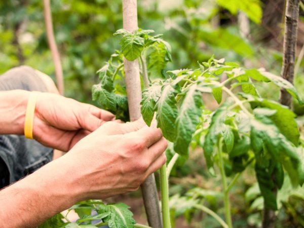 Все манипуляции с томатами желательно проводить утром или вечером