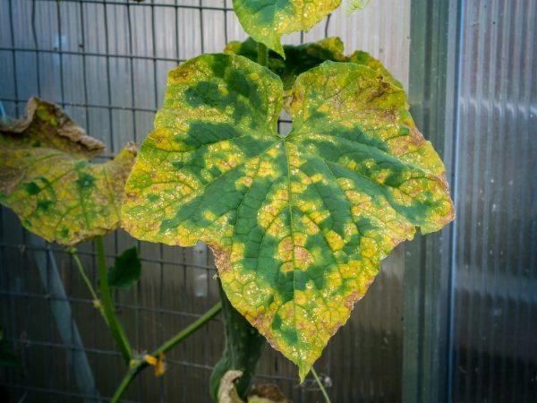 Повышенная влажность может стать причиной гибели растения