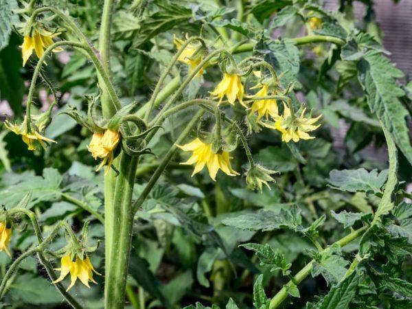 Растения удобряют три раза за сезон