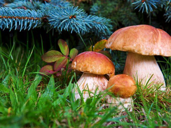 Характеристика грибов Приморского края