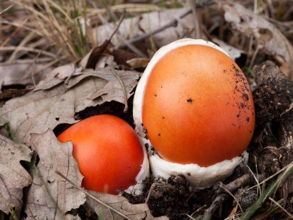 Для приготовления подходят молодые грибы