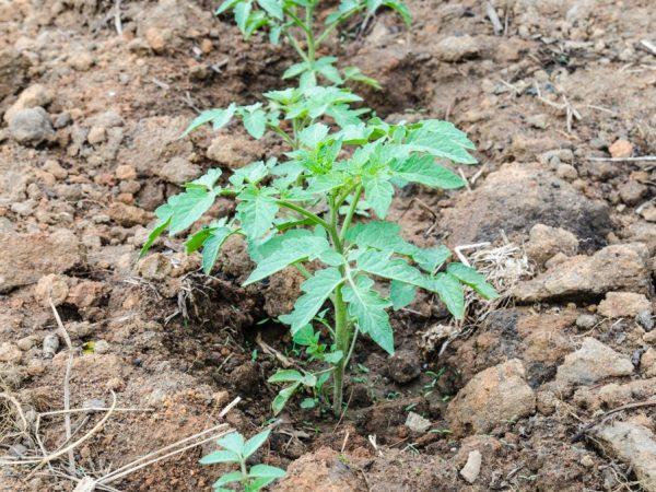Биогумус оздоравливает растения
