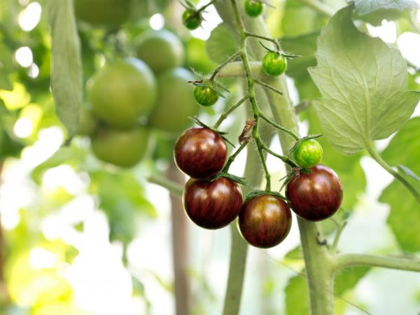 Выращивание томата Черная богиня