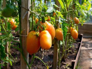 Сортовые особенности томата Диаболик