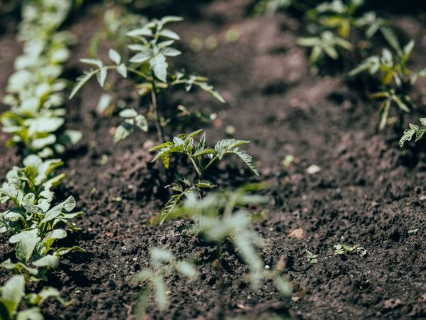 Хороший уход повышает иммунитет томатов