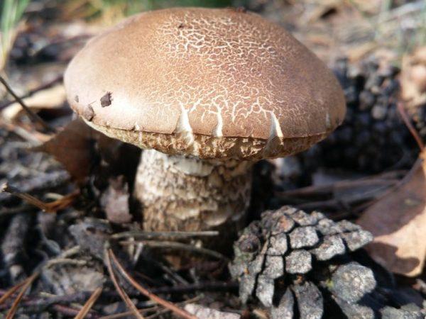 Признаки опасных двойников белого гриба