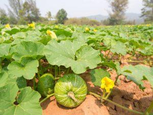 Особенности выращивания голосемянной тыквы