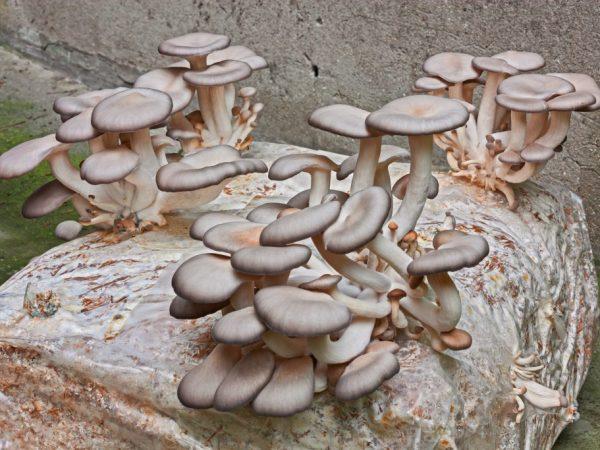 Хищные грибы и их примеры