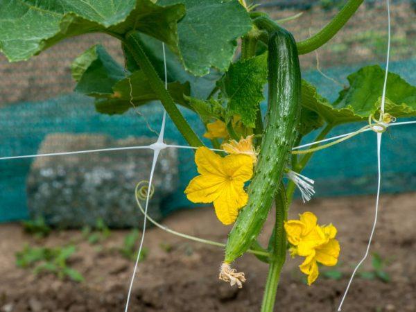Выращивание огурцов Изумрудный поток