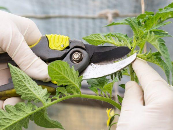Технология пасынкования помидоров в открытом ггрунте