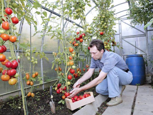 Правила подкормки томатов дрожжами