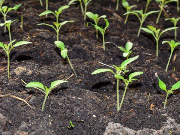 Рассаде необходимо много света