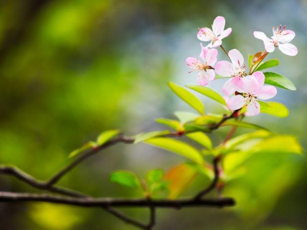 Выращивание яблони ранетки