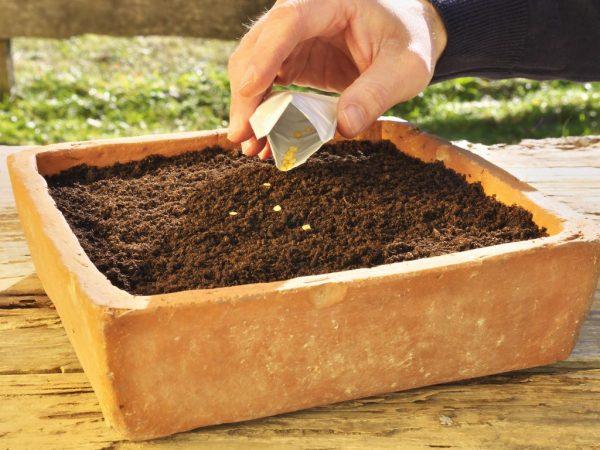 Семена перед посадкой следует обеззаразить