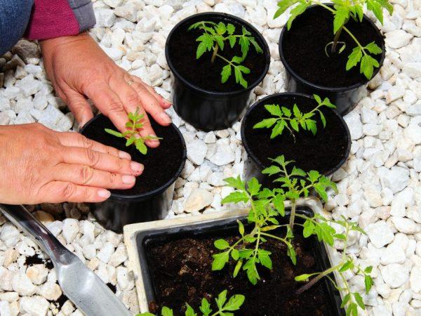 Правила и сроки посадки томатов в Сибири