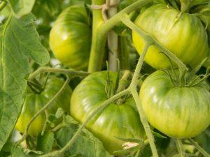 Выращивание томата Вечный зов