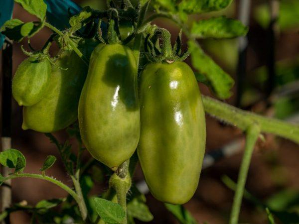 Сорт Крепыш отличается ранним плодоношением