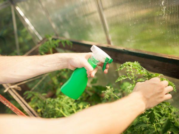 Перекись водорода для полива помидоров