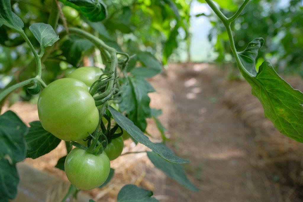 Как посадить и вырастить томат Кострома