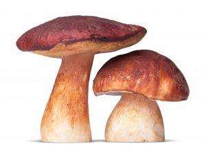 Характеристика плодового тела гриба