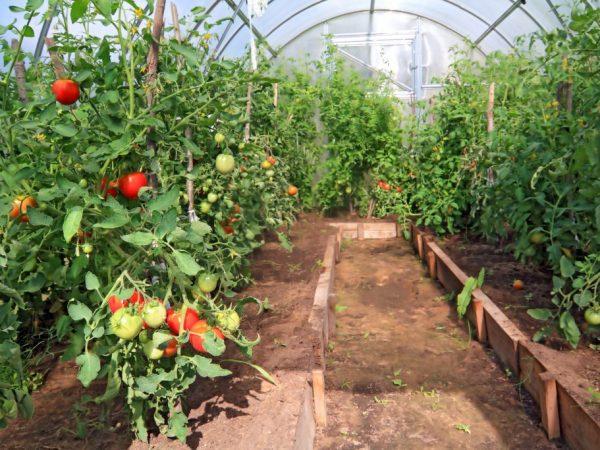 Хороший урожай можно получить только из качественного посевного материала
