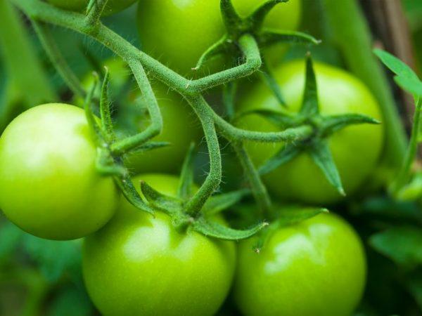 Растение устойчиво к перепадам температур