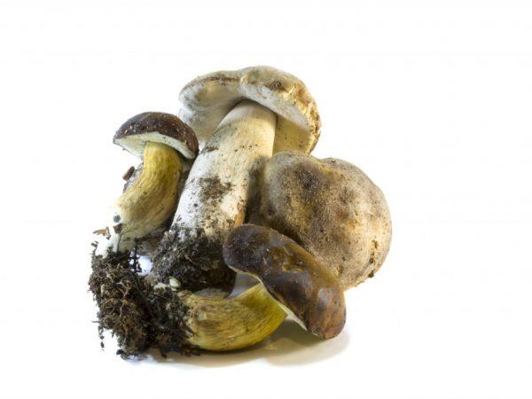 Польский белый гриб фото и описание