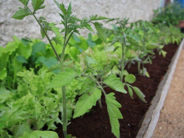 Подкормка томатов Биогумусом