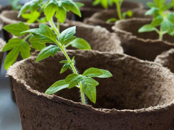 Рассаде необходима профилактическая обработка